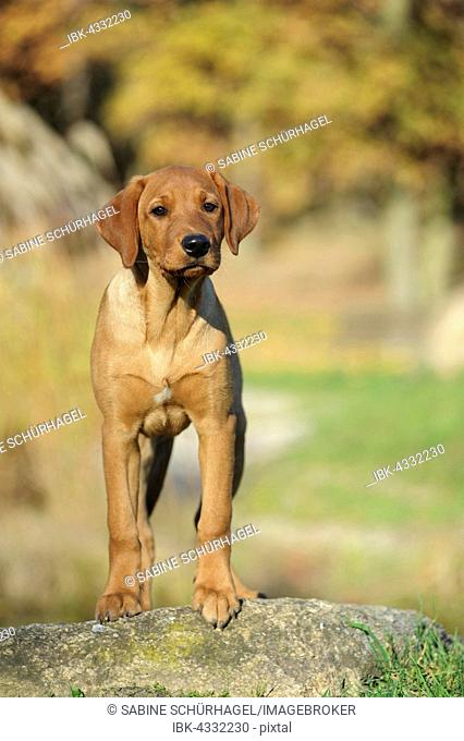Labrador Retriever, puppy, yellow, male