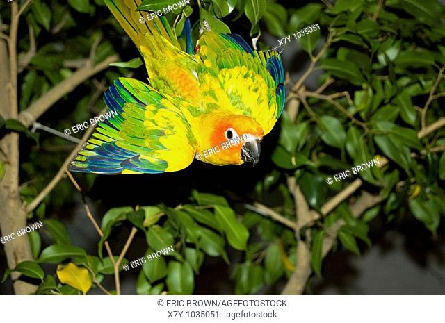 A conure is partially upside down in a tree
