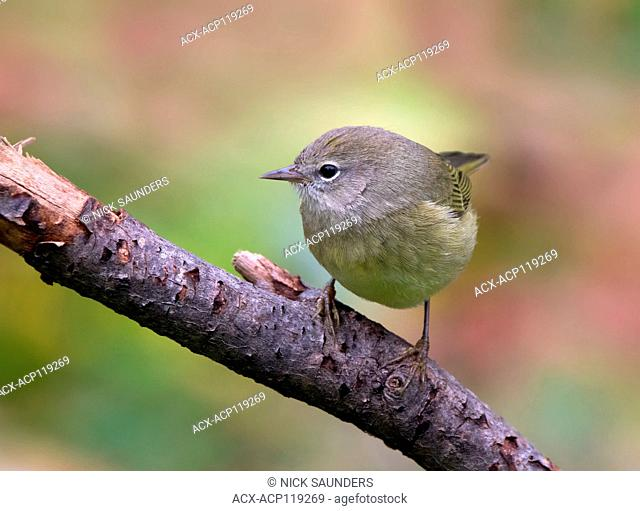 Orange-crowned Warbler, Oreothlypis celata, perched on a log in the Autumn in Saskatoon, Saskatchewan, Canada