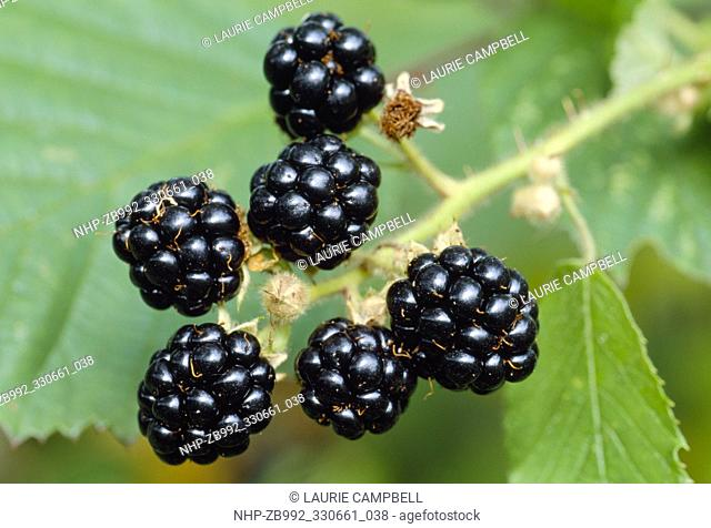 Bramble / Blackberry (Rubus fruticosus) fruits, Berwickshire, Scotland, September 1998