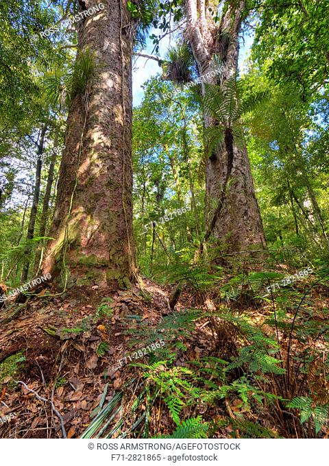 Two large kauri trees, Agathis australis, commonly known as the kauri, is a coniferous tree found north of 38°S in the northern districts of New Zealand's North...