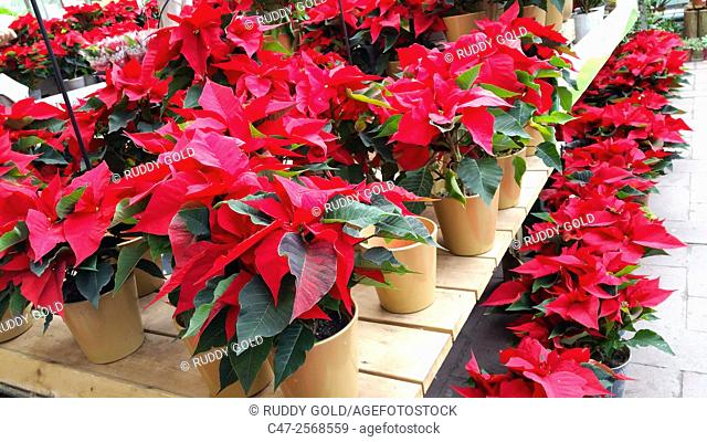 Poinsettias for sale in a Garden Center, Mataró, Catalunya, Spain