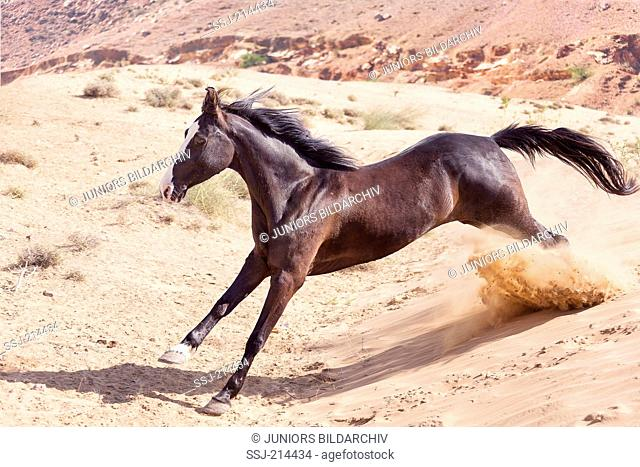 Marwari Horse. Black mare galloping in the desert. Rajasthan, India