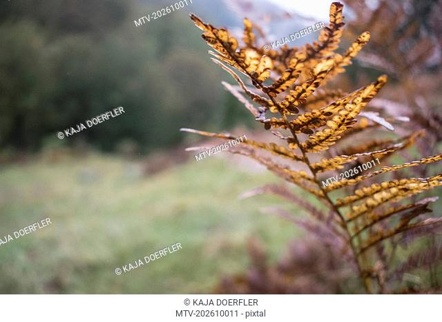 Close-up of dry fern, Bavaria, Germany