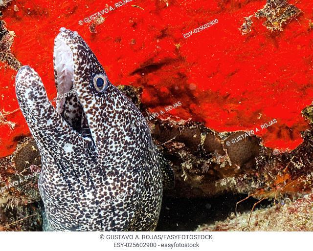 Saltwater Spotted Eel- Gymnothorax moringa