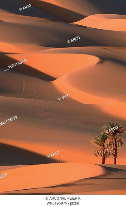 Date, Palms, Sahara, Erg, Ubari, Lybia,Phoenix, dactylifera