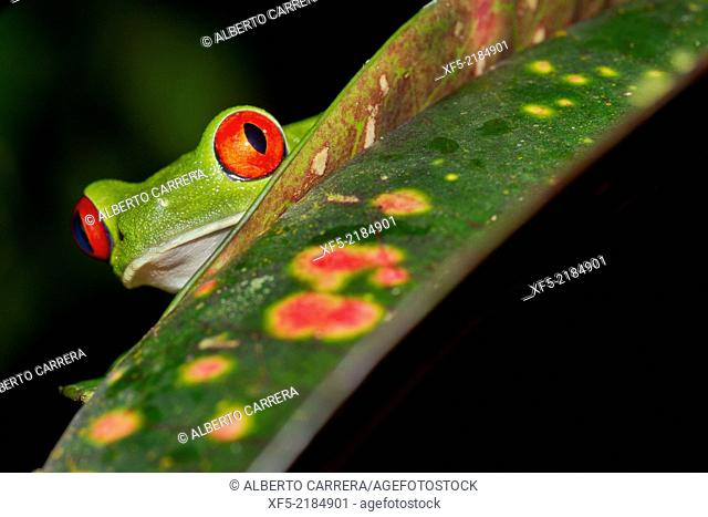 Red-eyed Tree Frog, Agalychnis callidryas, Tropical Rainforest, Corcovado National Park, Osa Conservation Area, Osa Peninsula, Costa Rica, Central America