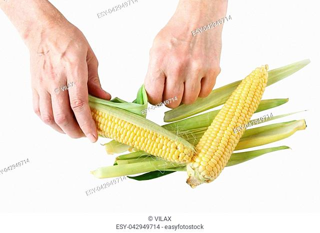 The elderly farmer is cleaning the corn cobs from the shell. Isolated on white top view