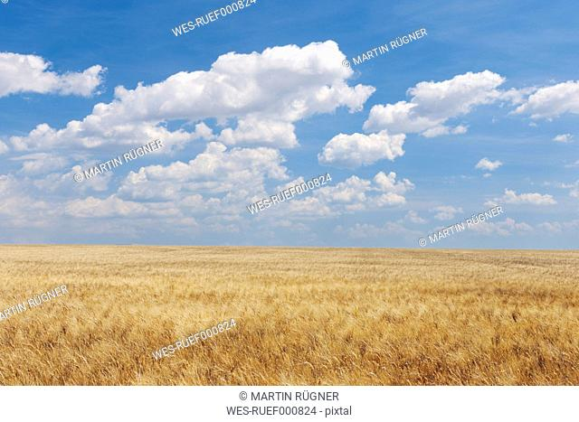 France, View of wheat field