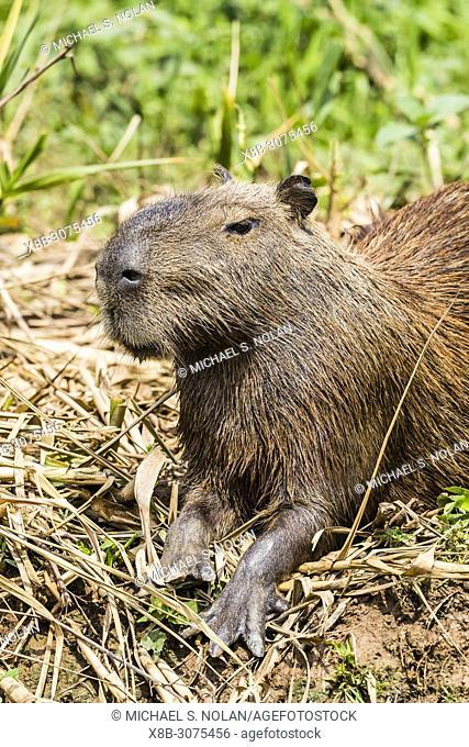 An adult capybara, Hydrochoerus hydrochaeris, Porto Jofre, Mato Grosso, Pantanal, Brazil