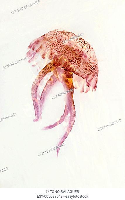 luminiscent red pink jellyfish pelagia noctiluca