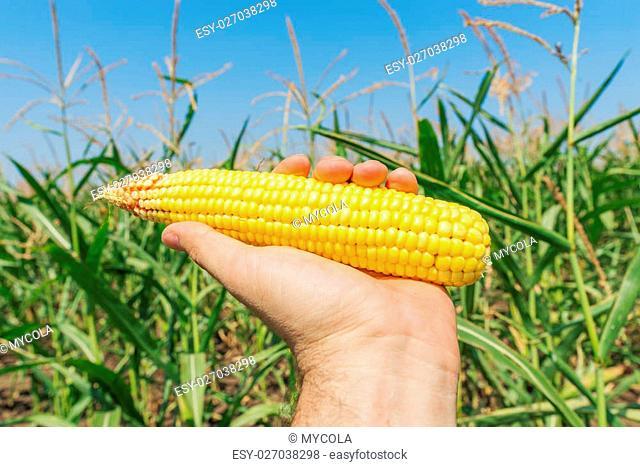 golden maize in hand over green field