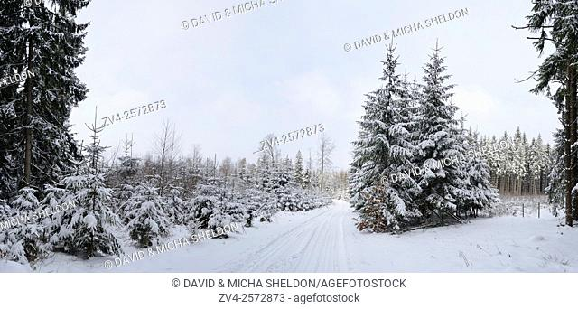 Landscape of trails going through a forest with Norway Spruces (Picea abies) in winter, Germany