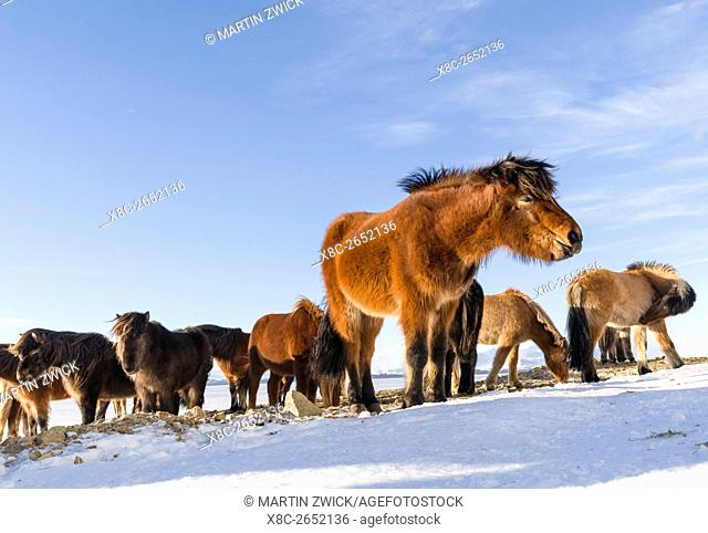 Icelandic Horse during winter in Iceland with typical winter coat. This traditional icelandic breed traces its origin back to the horses of the viking settlers