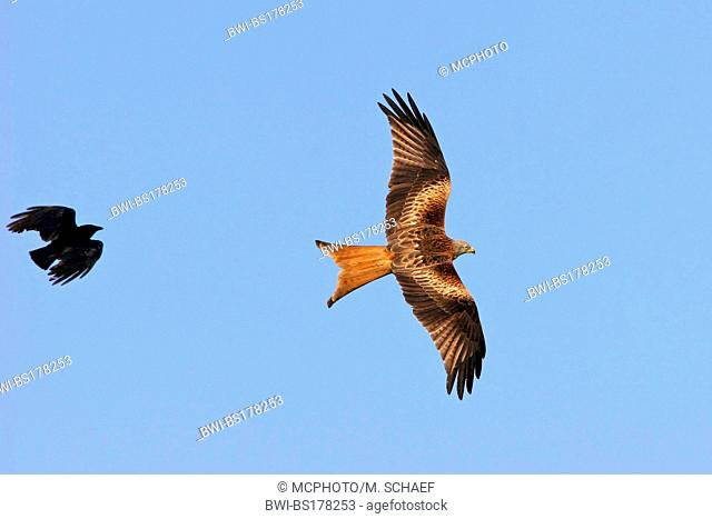 red kite (Milvus milvus), persecuted by a crow, Europe