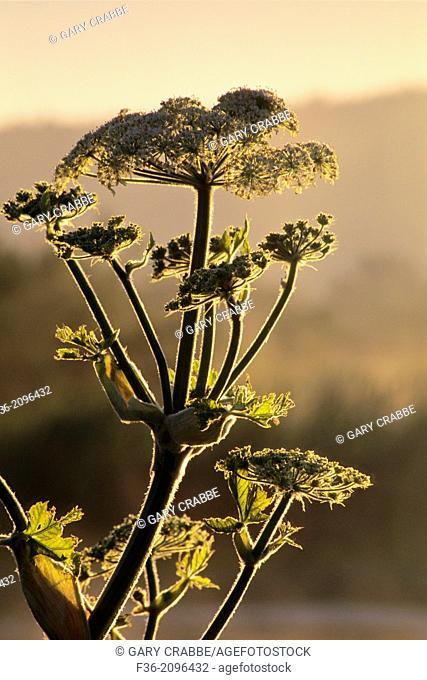 Cow Parsnip at sunrise, Arcata Marsh, Arcata, Humboldt County, CALIFORNIA