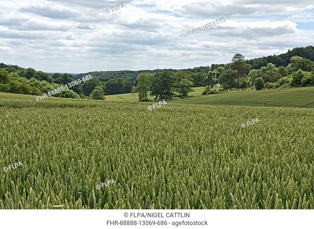 Development of a winter wheat crop from seedling to harvest, summer. Berkshire, July