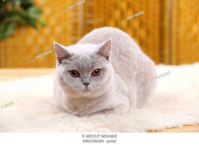 British Shorthair Cat, lilac