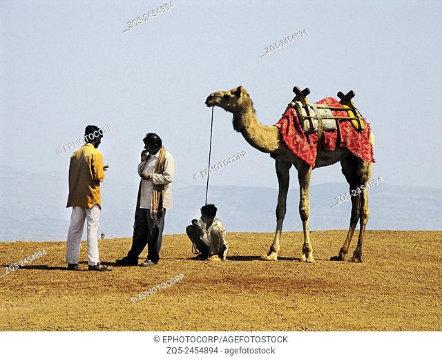 Camel at Mahabaleshwar, Satara, Maharasthra, India