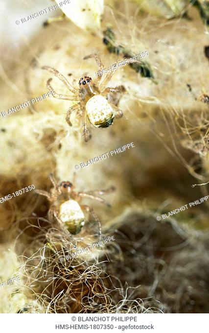 France, Morbihan, Araneae, Araneidae, Orb-weaving spider, Argiope hornet or Banded Epeira (Argiope bruennichi), young spiders in their cocoon
