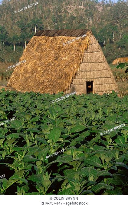 Tobacco plantation, Cuba, West Indies, Central America