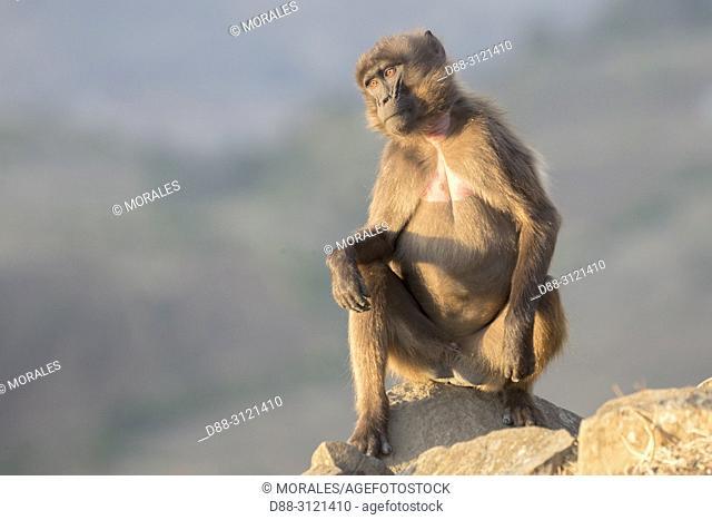 Africa, Ethiopia, Rift Valley, Debre Libanos, Gelada or Gelada baboon (Theropithecus gelada), femalein the evening at the edge of the cliff before descending...