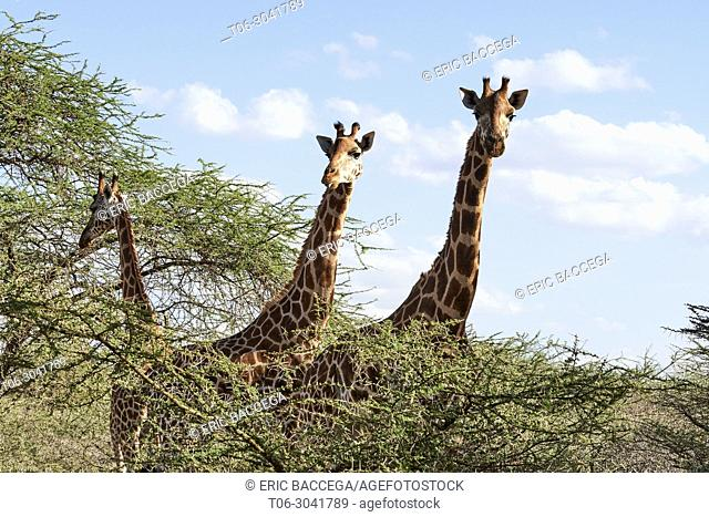 Rothschild giraffe (Giraffa camelopardalis rothschildi) group, head and neck, Ruko Conservancy island, Lake Baringo, Kenya, Africa