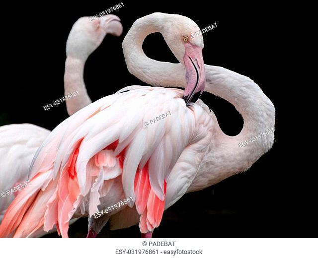Greater Flamingo - Phoenicopterus roseus bended neck