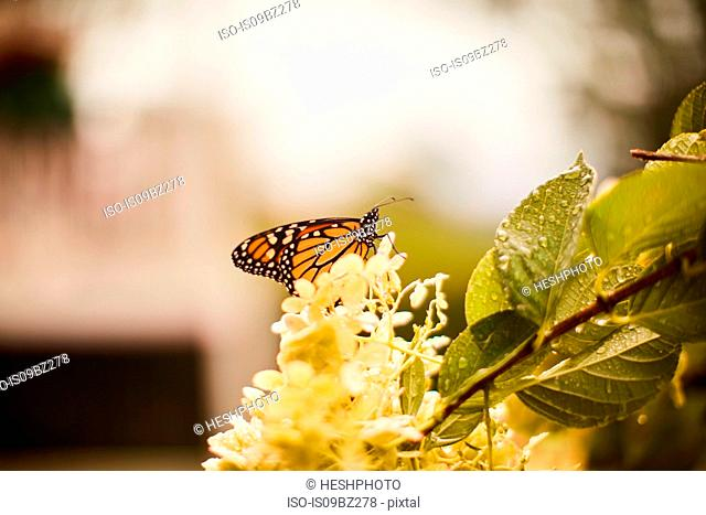 Monarch butterfly perched on flower