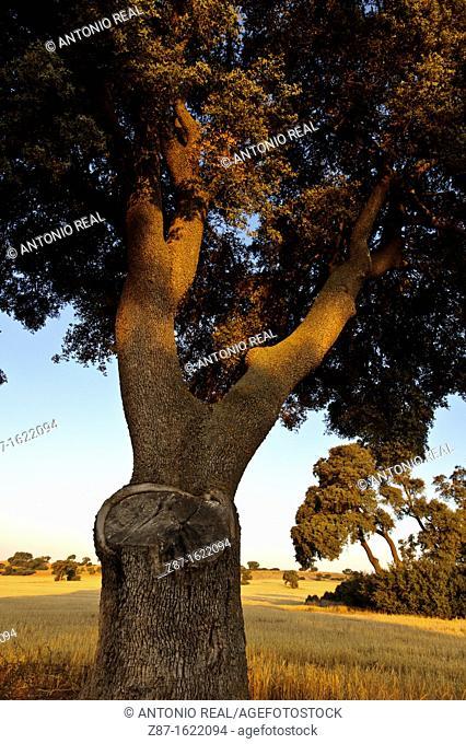 Holm Oak (Quercus ilex), Alpera, Albacete province, Castilla-La Mancha, Spain