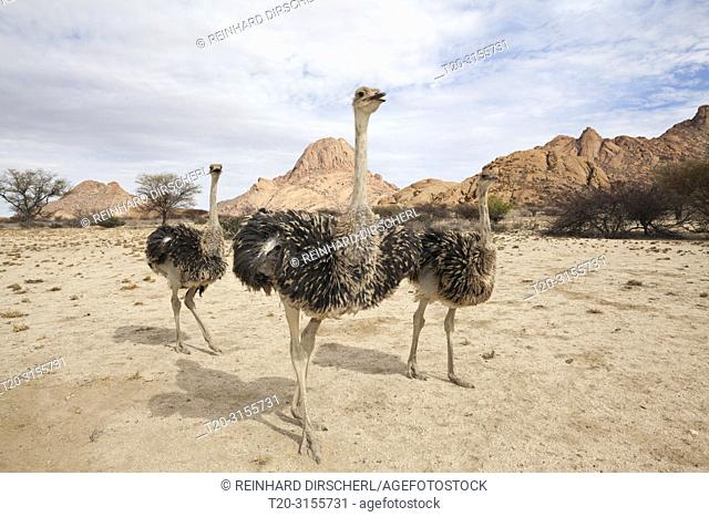 Group of South African Ostrich, Struthio camelus australis, Spitzkoppe, Namibia