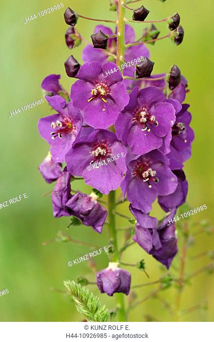 Purple, mullein, Verbascum phoeniceum, Scrophulariaceae, blossom, flower, inflorescence, Seewinkel, lake Neusiedl, Burgenland, Austria
