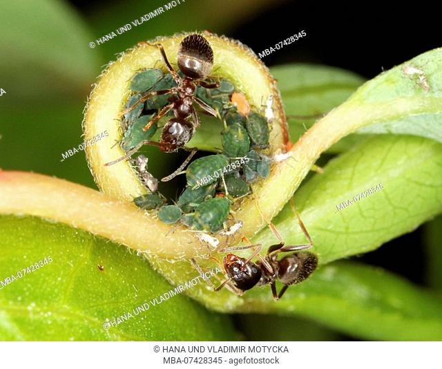 Worker ant Lasius alienus with colony of greenflies Aphis farinosa