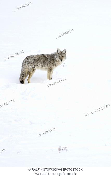 Coyote ( Canis latrans ), adult animal, in winter, high snow, on distance, watching attentively, Montana, USA