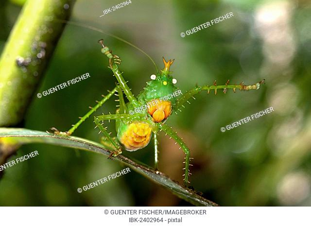 Threatening pose of a Spiny Devil Bush cricket (Panacanthus cuspidatus), Tiputini rain forest, Yasuni National Park, Ecuador