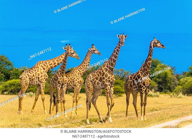 Herd of giraffes, Nxai Pan National Park, Botswana