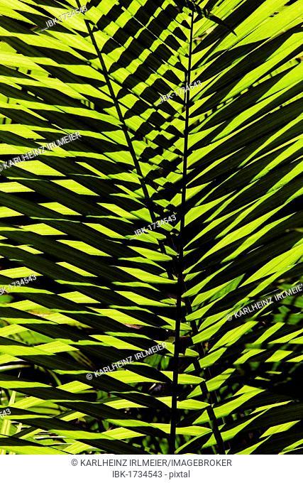 Palm frond, Daintree National Park, Queensland, Australia