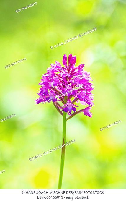 German wild orchid, Pyramidal Orchid, Anacamptis pyramidalis