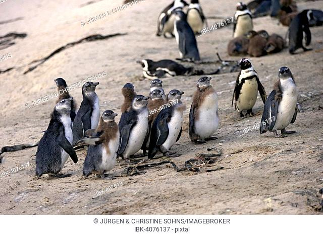 Jackass Penguins (Spheniscus demersus), adult and young, Boulders Beach, Simon's Town, Western Cape, South Africa