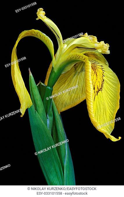 Ussuri iris (Iris maackii). Image of flower on black background