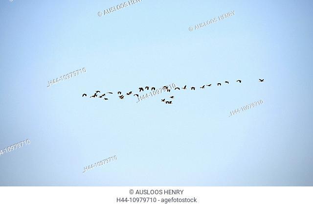 Lesser whistling duck, duck, flying, Thailand, bird, palmipede, duck, dendrocygna javanica, flight, migration, group, flock