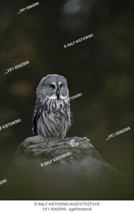 Great Grey Owl ( Strix nebulosa ), perched on a rock in front of the edge of an autumnal boreal forest, Europe