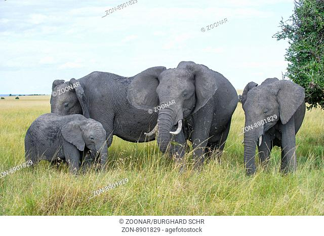 African Elefant,Loxodonta africana ,Elefant,Elephant