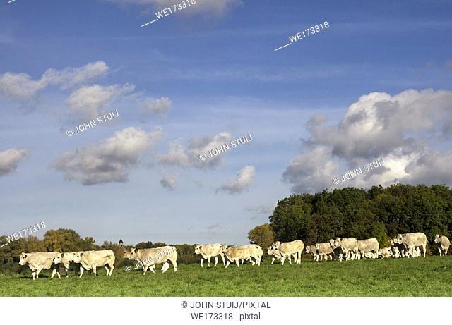 Cows in a floodplain from the river Waal near Waardenburg in the Dutch province Gelderland
