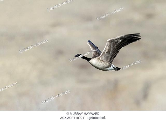 Canada Goose (Branta canadensis) Flying over the Bow River, near Carsland, Alberta, Canada