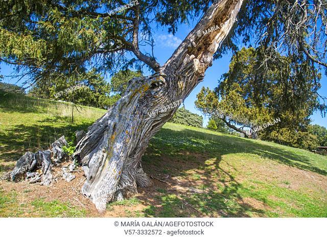 Old Juniper tree. Moral de Hornuez, Segovia province, Castilla Leon, Spain
