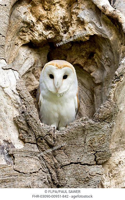 Barn Owl (Tyto alba) adult, perched in tree hollow, Suffolk, England, May (captive)