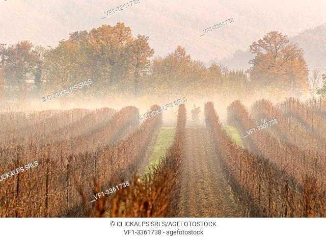 Vineyards in Franciacorta at dawn in Winter season, Brescia province, Lombardy district, Italy, Europe