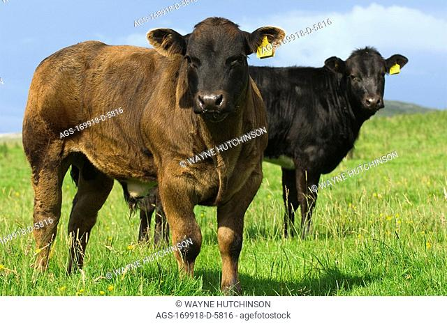 Livestock - Six month old crossbred beef calves on a green pasture. These calves are a cross between a Blonde D'Aquataine bull and a Belgian Blue cow / England