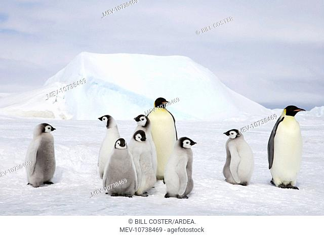 Emperor Penguin - Adults and Young (Aptenodytes forsteri)